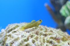 Free Goby Royalty Free Stock Photos - 58419038