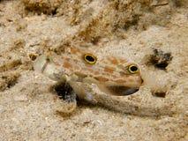 Goby aux yeux de crabes 01 Photos stock