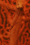 Goby Camouflage on Soft Coral, Mabul Island, Sabah. Sealife- Goby Camouflage on Soft Coral, Mabul Island, Sabah Royalty Free Stock Photos