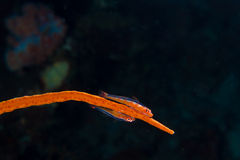 Goby couple on whip coral Royalty Free Stock Photography