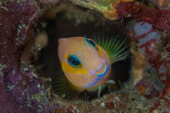 Goby Royalty Free Stock Photo