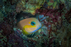 Goby Royalty Free Stock Photos