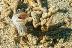 Goby fish Royalty Free Stock Image