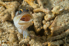 Goby fish Royalty Free Stock Photos