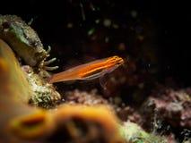 Goby fish Stock Photos
