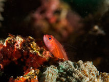 Goby fish Royalty Free Stock Images