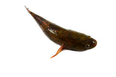 Goby fish Stock Photography