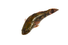 Goby fish Stock Images