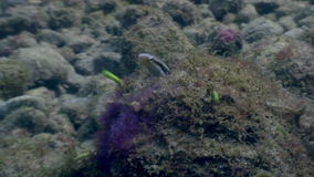 Goby fish underwater in ocean of wildlife Philippines. Travel in world of unique colorful beautiful ecosystem nature coral, algae. Inhabitants of deep sea in stock video footage