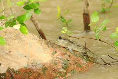 The giant goby is swimming on a bamboo stick. The goby is grayish brown, lying on the bamboo. The water is lapping Royalty Free Stock Photo