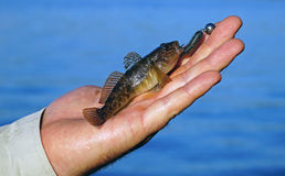 Goby in hand fisherman closeup Stock Images