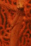 Goby kamuflaż na Miękkim koralu, Mabul wyspa, Sabah zdjęcia royalty free