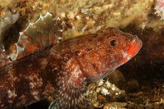 Goby van de rood-lip (cruentatus Gobius) - Baai van Brest Stock Foto's