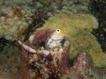 Gobyfisk Royaltyfria Bilder