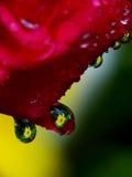 Gocce dei petali di Rosa n Fotografie Stock