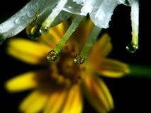 gocce dei petali n Fotografie Stock