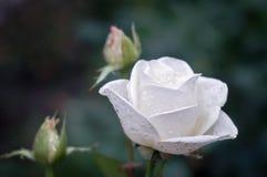 Gocce dell'acqua di rose di Whire Fotografie Stock