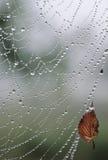 Gocce dell'acqua di Web di ragno Fotografia Stock Libera da Diritti