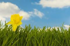 Gocce dell'acqua e del Daffodil fotografia stock