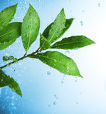 Gocce dell'acqua e fogli verdi freschi Immagini Stock Libere da Diritti