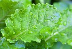 Gocce dell'acqua su un foglio verde intenso Immagini Stock Libere da Diritti