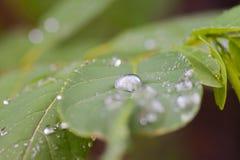 Gocce dell'acqua sui fogli Fotografie Stock Libere da Diritti