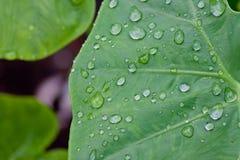 Gocce dell'acqua sui fogli verdi Immagini Stock