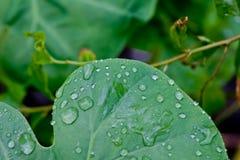 Gocce dell'acqua sui fogli verdi Fotografie Stock Libere da Diritti