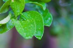 Gocce dell'acqua sui fogli verdi Fotografia Stock