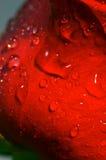 Gocce dell'acqua sul fiore di rosa di colore rosso fotografie stock