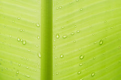 Gocce dell'acqua sul foglio della banana sottragga la priorità bassa Fotografia Stock Libera da Diritti