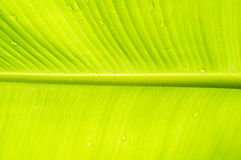 Gocce dell'acqua sul foglio della banana sottragga la priorità bassa immagine stock libera da diritti