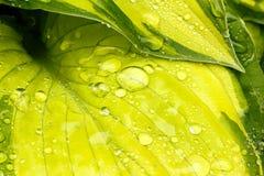 Gocce dell'acqua sul foglio della pianta verde Fotografia Stock
