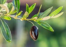 Gocce dell'olio d'oliva dalla bacca verde oliva immagine stock libera da diritti