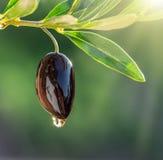 Gocce dell'olio d'oliva dalla bacca verde oliva fotografia stock libera da diritti