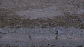 Gocce della caduta della pioggia alla pavimentazione che forma una pozza stock footage