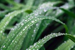 Gocce della pioggia sui fogli verdi Fotografia Stock Libera da Diritti