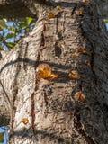 Gocce della resina sul tronco di albero visto da sotto Immagine Stock