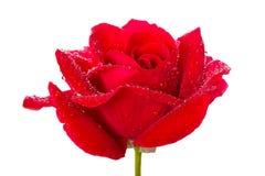 Gocce della rosa e di rugiada di colore rosso Fotografia Stock