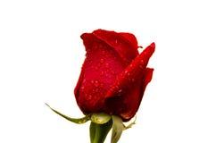 gocce della rosa rossa c Immagine Stock