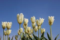 Gocce della rugiada di mattina sui tulipani bianchi Corolla Fresco e puro fotografie stock