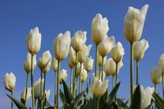 Gocce della rugiada pura di mattina sui tulipani Corolla fotografia stock