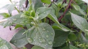 gocce dello shabnam delle foglie verdi di acqua immagine stock libera da diritti