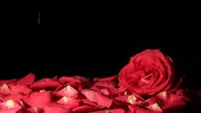 Gocce di acqua che cadono su un petalo rosa lento archivi video