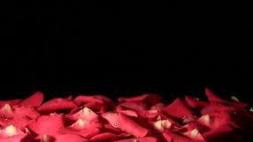 Gocce di acqua che cadono sul fondo dei petali archivi video