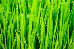 Gocce di acqua in cima ai germogli del riso Fotografia Stock Libera da Diritti