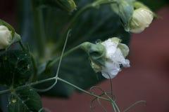 Gocce di acqua del fiore bianco Fotografie Stock Libere da Diritti