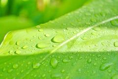 Gocce di acqua della foglia delle gocce di acqua sulla foglia verde Fotografia Stock