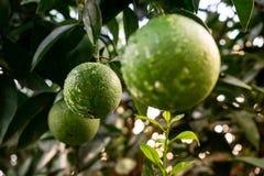 Gocce di acqua fresche d'attaccatura dell'albero della frutta arancio verde Primo piano di una frutta arancio verde su un albero immagine stock