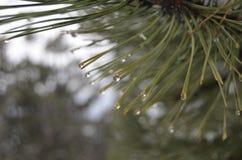 Gocce di acqua nell'albero Immagine Stock